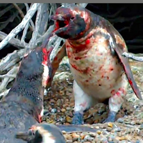 (فیلم) درگیری خونین بین دو پنگوئن نر، عاقبت خیانت حیوانی!