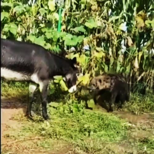 (فیلم) گوشمالی دادن به کفتار توسط الاغ!