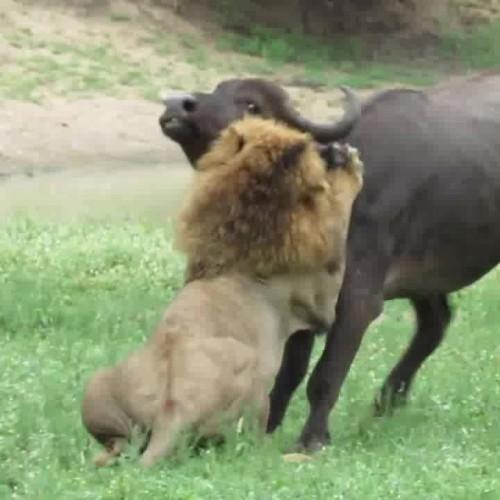 (فیلم) حمله بیرحمانه سه شیر نر به یک بوفالو پس از زایمان
