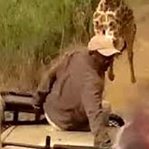 (فیلم) حمله ناگهانی زرافه خشمگین به گردشگران!