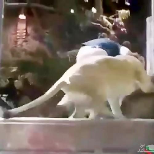 (فیلم) حمله شیر دست آموز به مربیاش در باغ وحش