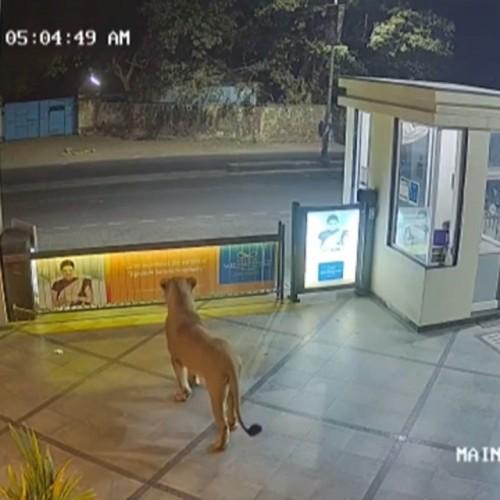 (فیلم) حضور خوفناک شیر سرگردان در یک هتل