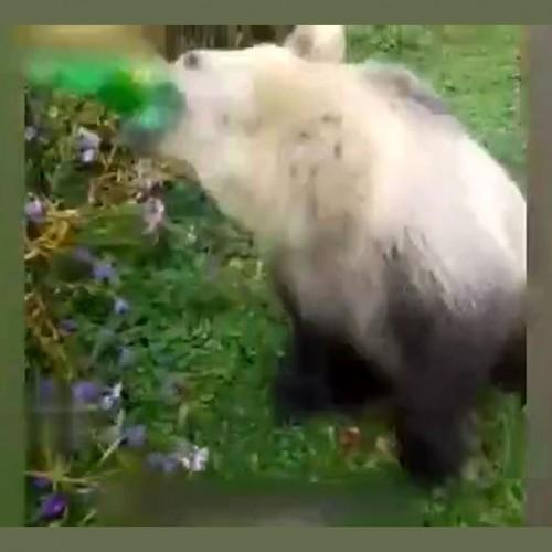 فیلم جالب از علاقه عجیب یک خرس به نوشابه