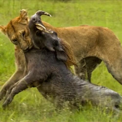 (فیلم) کمین و حمله بینقص شیر ماده برای شکار گراز