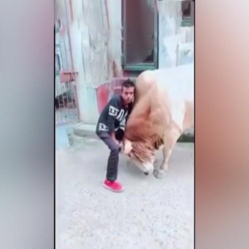 (فیلم) سالتو شدن یک مرد توسط گاو عصبانی!