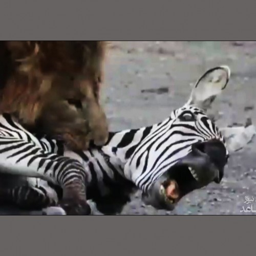 (فیلم) شکار آسان گورخر تنها توسط شیر نر