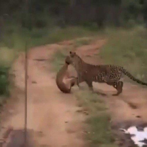 (فیلم) شکار سه سوته آهو توسط پلنگ
