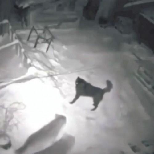(فیلم) شکار سگ نگهبان توسط گرگها