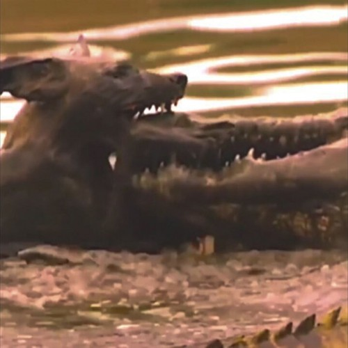 (فیلم) شکار سگ وحشی توسط کروکودیل
