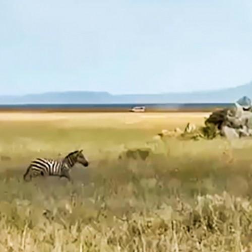 (فیلم) تودهنی محکم گورخر به شیر ماده و فرار از مرگ
