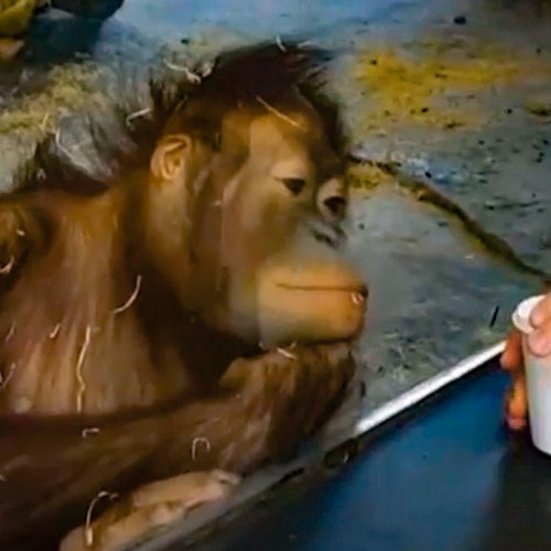 (فیلم) واکنش جالب میمون به شعبده بازی یک مرد