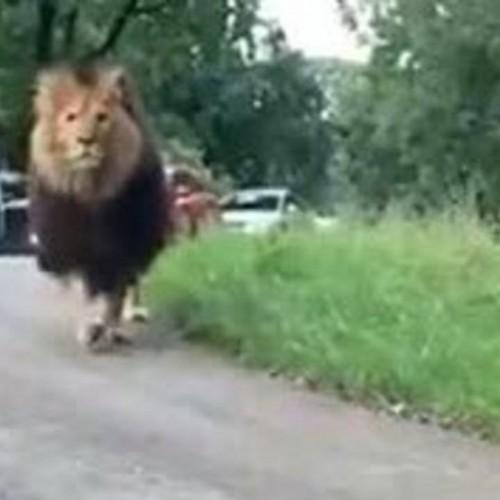 (فیلم) وحشت مردم از دیدن شیر نر در پارکینگ!
