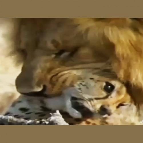 (فیلم) وقتی سریعترین شکارچی جهان، شکار میشود/ مرگ دلخراش یوزپلنگ توسط شیرها