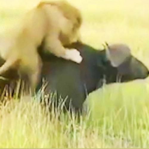 (فیلم) ضربه سخت بوفالو به شیر نر