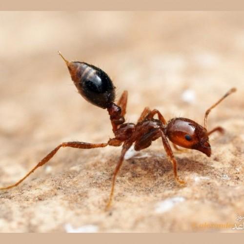 فروش مورچهها در سنگاپور به قیمت باورنکردنی