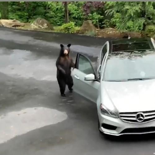 غافلگیری خرس سیاه پس از نزدیک شدن به خودروی مرسدس بنز