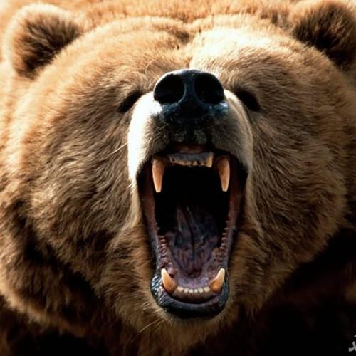 حمله خرس به یک گردشگر کرجی