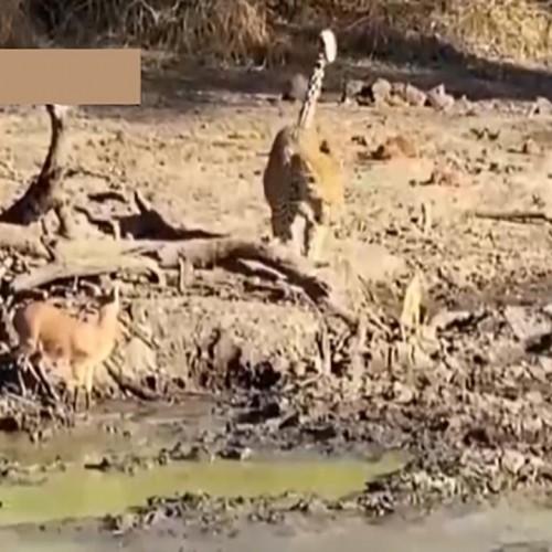 (فیلم) حمله ناگهانی یک پلنگ به بچه آهو