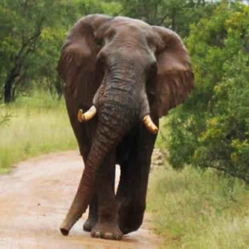 (فیلم) حمله وحشتناک فیل خشمگین به خودروی گردشگران