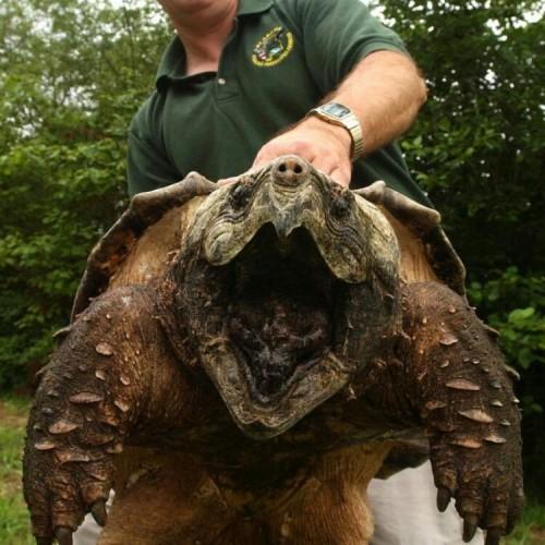 یکی از خطرناکترین لاکپشتهای جهان را بشناسید