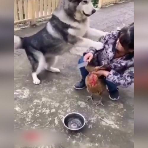 (فیلم) جلوگیری جالب یک سگ از سر بریدن مرغ