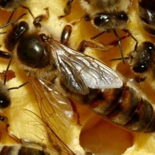 (فیلم) کارشناس سیما: کرونا با زهر زنبور درمان میشود!