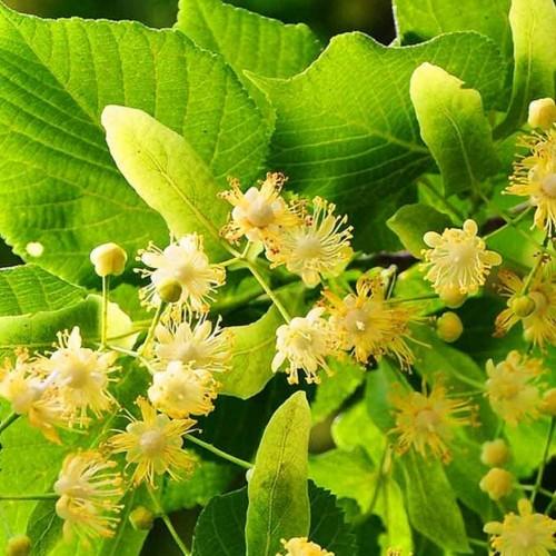خواص دارویی چای گیاه زیرفون برای سلامتی چیست؟