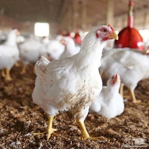 ماجرای توزیع مرغهای تریاکی در بازار