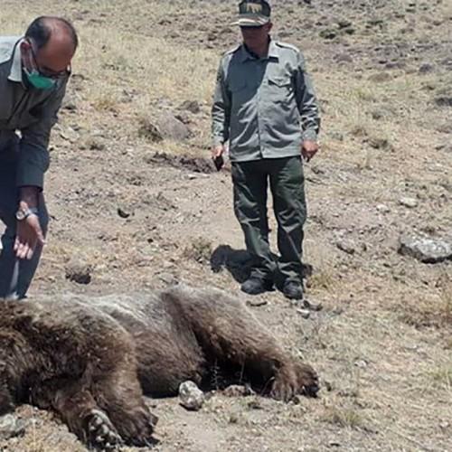 مرد بی رحم با تراکتور خرس را له کرد