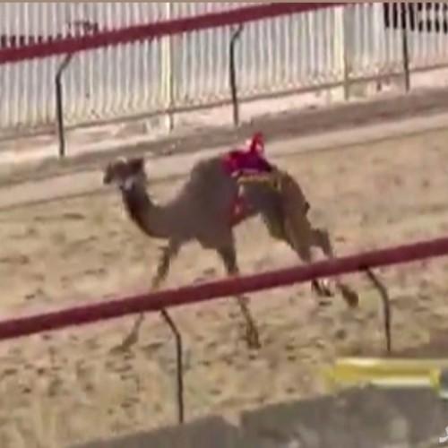 (فیلم) مرگ یک شتر در مسابقه در چند متری خط پایان