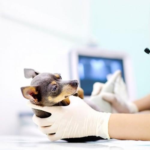 نحوه مراقبت از سگ باردار