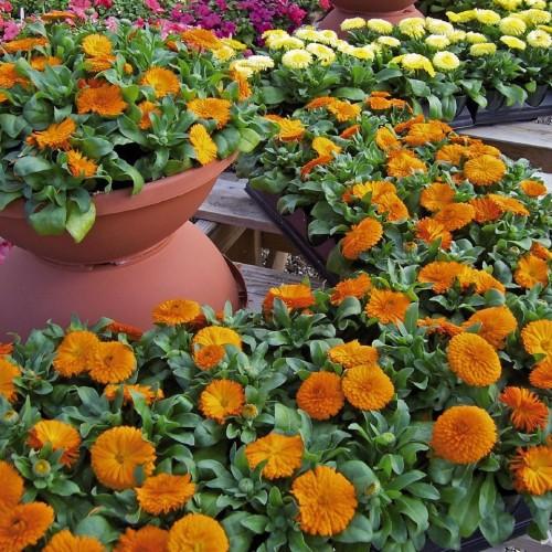 نحوه پرورش و نگهداری گل همیشه بهار
