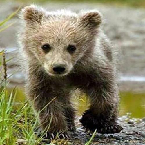 (فیلم) نجات یک توله خرس در کوهستان به شیوهای عجیب