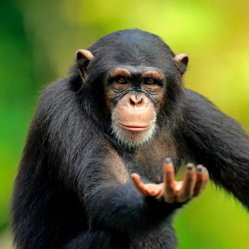(فیلم) شباهت خیره کننده میمون و انسان در میوه خوردن!