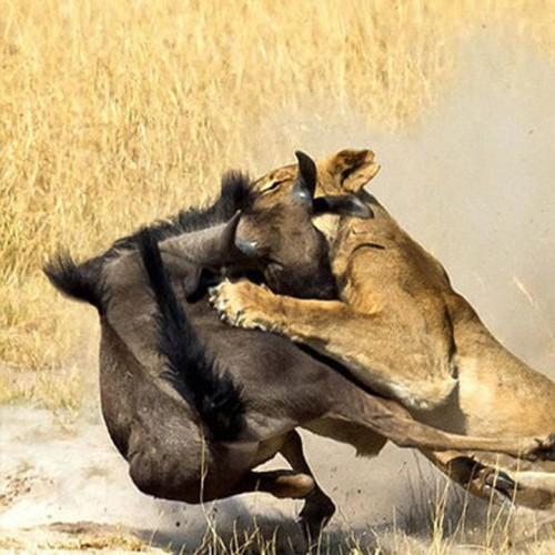 (فیلم) شکار هوشمندانه گوزن یالدار توسط شیر