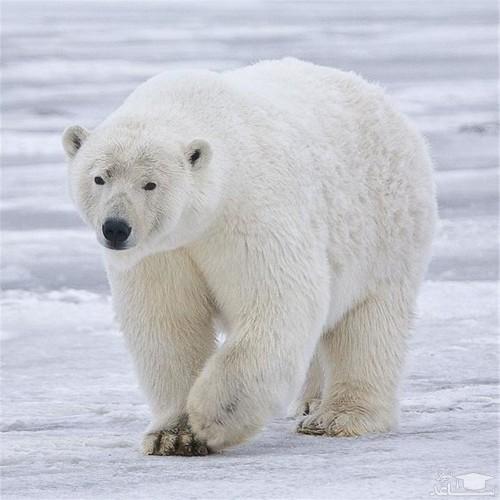 (فیلم) سورپرایز خندهدار خرس قطبی توسط یک فک دریایی