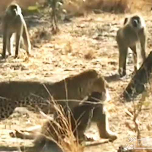 (فیلم) سر و صدای عجیب میمونها برای فراری دادن پلنگ