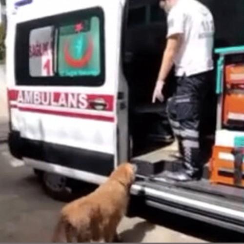 (فیلم) تعقیب آمبولانس توسط یک سگ وفادار