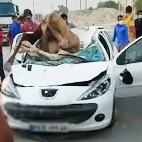 (فیلم) تصادف مرگبار خودروی 207 با شتر!