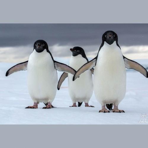 تصاویری از عاشقانه زوج پنگوئن