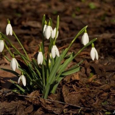 نحوه پرورش و نگهداری گل بهمن | گالانتوس