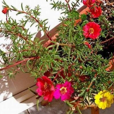 نحوه پرورش و نگهداری گل ناز
