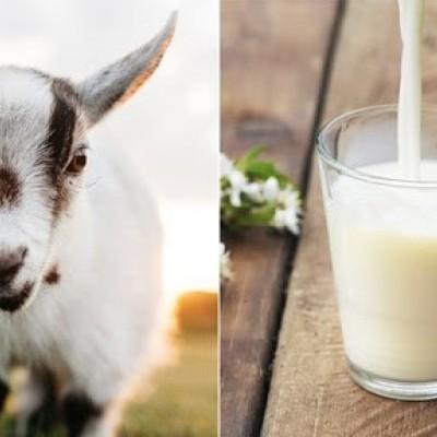 دیدن خوردن شیر بز در خواب چه تعبیری دارد؟ /  تعبیر خواب بز