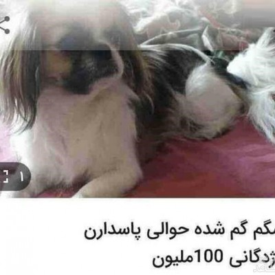 مژدگانی 100 میلیونی برای یابنده سگ!