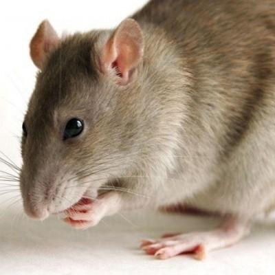 دیدن موش در خواب چه تعبیری دارد؟/ تعبیر خواب موش