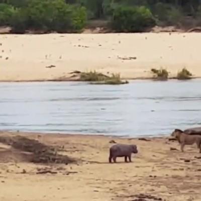(فیلم) دفاع اسب آبی کوچک از مادرش در برابر شیر گرسنه