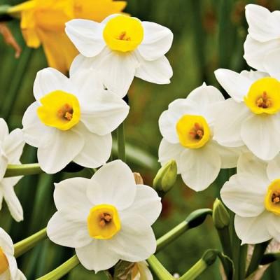 دیدن گل نرگس در خواب چه تعبیری دارد؟ / تعبیر خواب گل نرگس