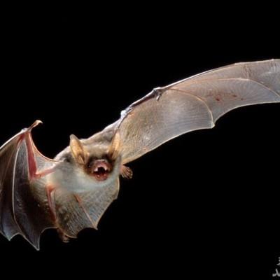 «خفاش»، منشا ویروس کرونا اعلام شد