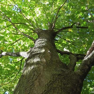 دیدن درخت آبنوس در خواب چه تعبیری دارد؟ /  تعبیر خواب آبنوس