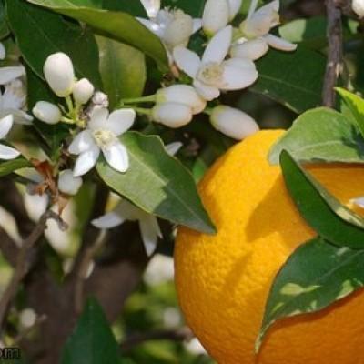 دیدن  نارنج در خواب چه تعبیری دارد؟ / تعبیر خواب نارنج
